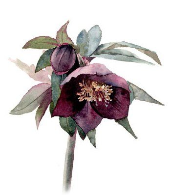 stunning violet hellebore watercolour