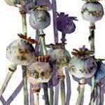 Poppyhead watercolour