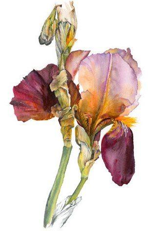 Bearded-Iris-2