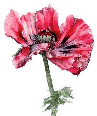 Sassy red anemone