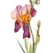 Bearded-Iris-1