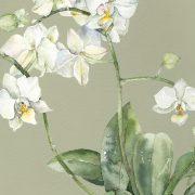 AC Moth Orchid